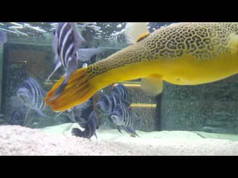 Mbu puffer and frontosas blue Zaire