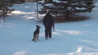 Diesel (german Shepherd) Dog Training Obedience Minnesota
