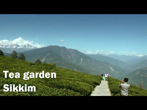 Temi Tea Garden in Sikkim