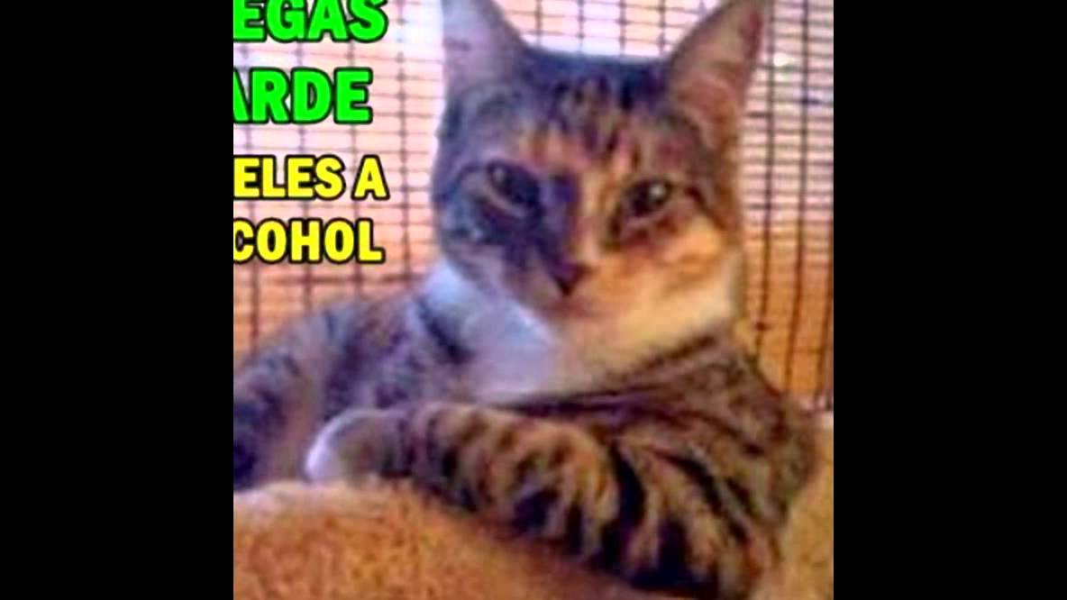 Memes De Gatos Frases Chistosas Kekeleque Youtube
