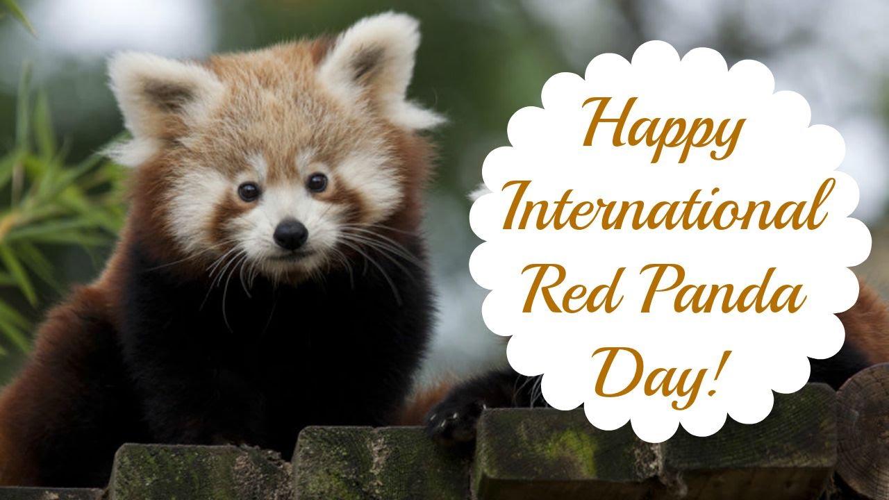 Happy International Red Panda Day! (2015) - YouTube