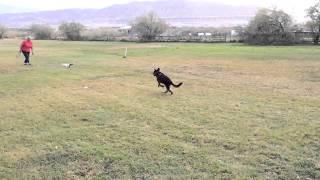 German Shepherd Puppy Lure Coursing