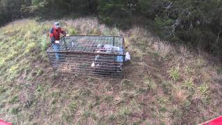 EAW Trapping Service Hog Trapping 11/10/2013