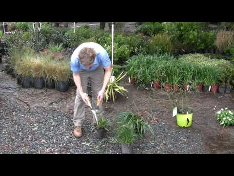 Wbl 2017 Video01 Pruning Liriope Evergreen Giant Youtube
