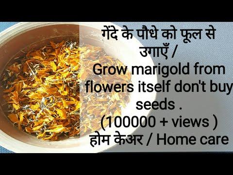 53. Gende ke beej kaise lagate h? How to sow marigold seeds?