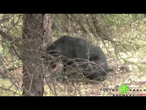 Giant Black Bears taken down with Flying Arrow Archery broadhead - Pharmakon