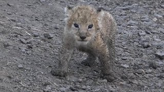 SafariLive Feb 16 - Surprise! NEW SAUSAGE LION CUB!!