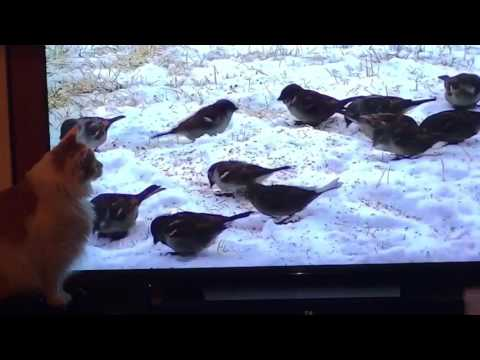 Ralphie vs Birds (Cat & 4K TV)