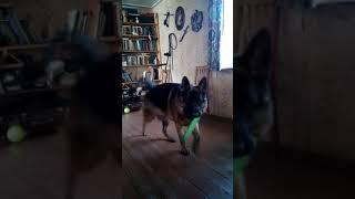 Собака считает до семи