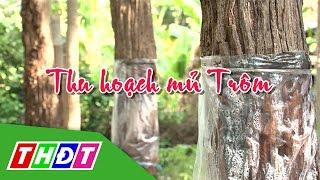 THDT - Ngõ ngách miền Tây - Thu hoạch mủ trôm