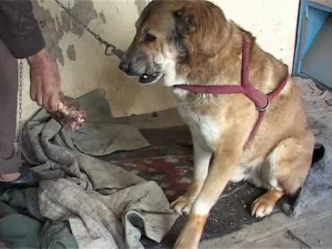 Dog fighting makes a comeback in Afghanistan