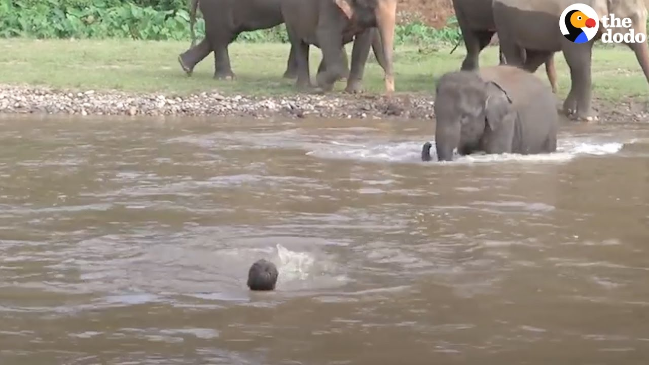 Baby Elephant Tries To Help Man Who's 'Drowning'