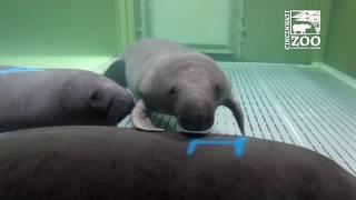 New Manatees Arrive for Rehab - Cincinnati Zoo