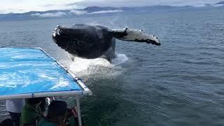 いやいやいや、近過ぎでしょ!クジラのダイナミックな大ジャンプが迫力満点だった件