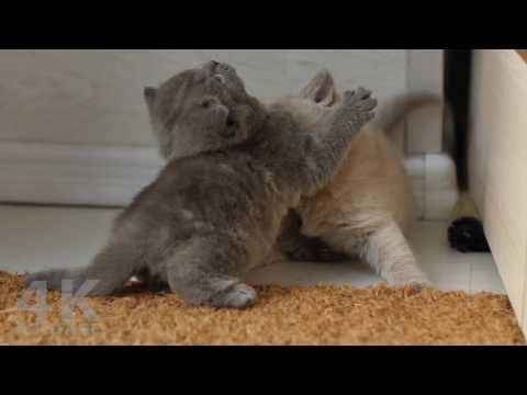 Funny Video of Kittens Playing Together 4K