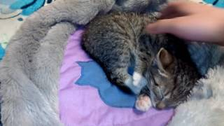 Кошачий массаж.(как делать массаж кошке?раслабляющий массаж)