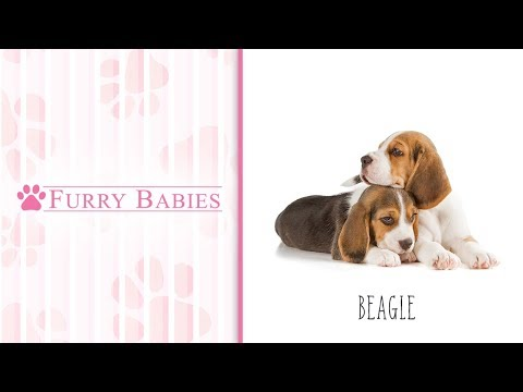 Is the Beagle the right breed for you?