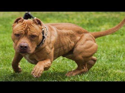 Los 10 Tipos De Razas De Perro Pitbull Youtube