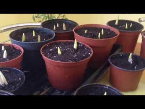 Вопрос: Как поэтапно высадить луковицы тюльпана зимой в горшок на подоконнике?