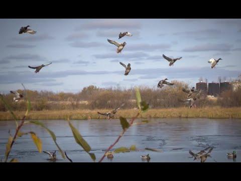 Saskatchewan Waterfowl With The Avian X TV Crew