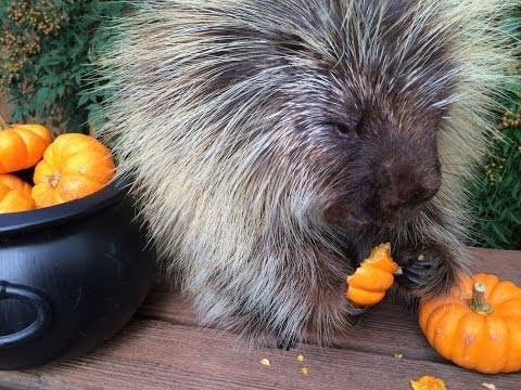 This porcupine cannot contain his excitement when he tries some pumpkins for the first time