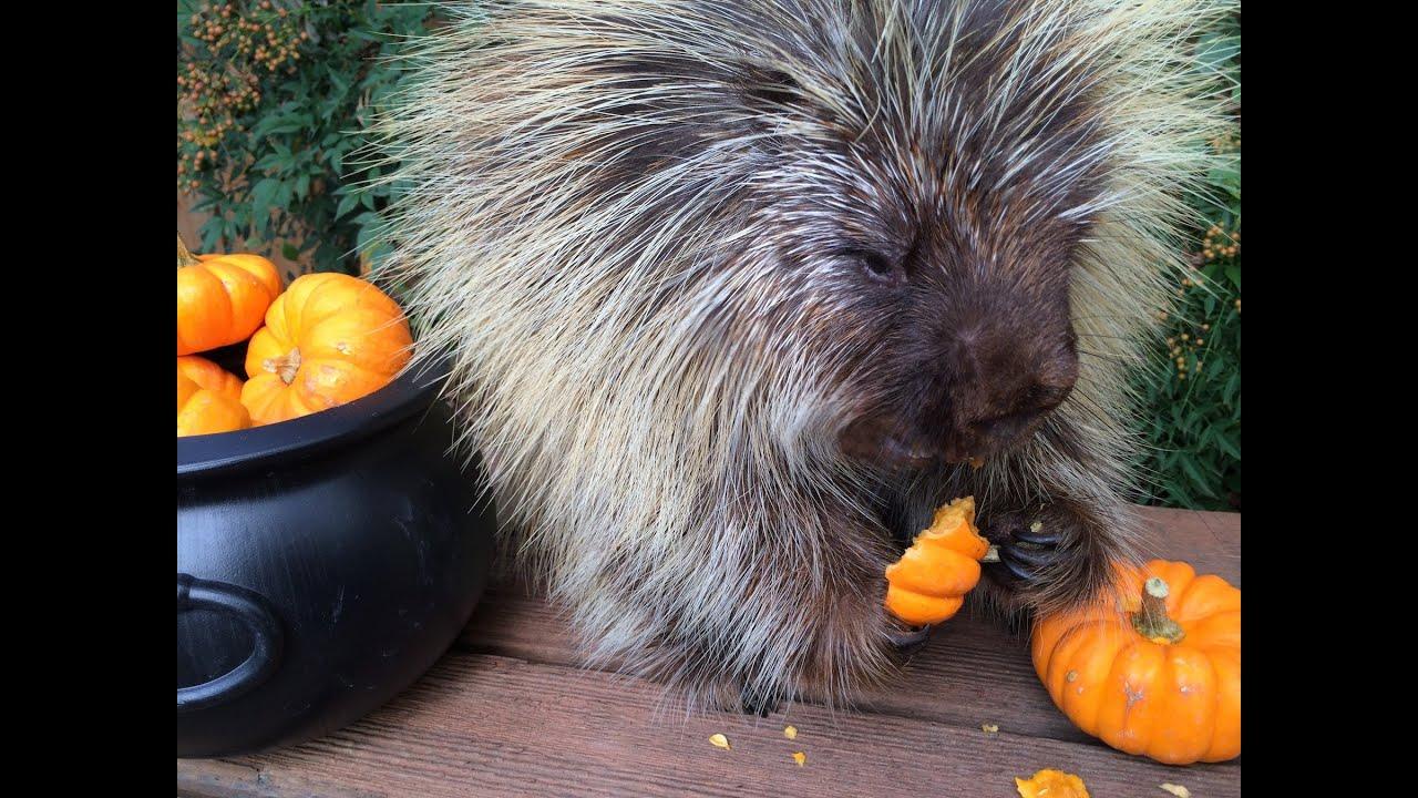 teddy bear the porcupine's halloween feast - youtube