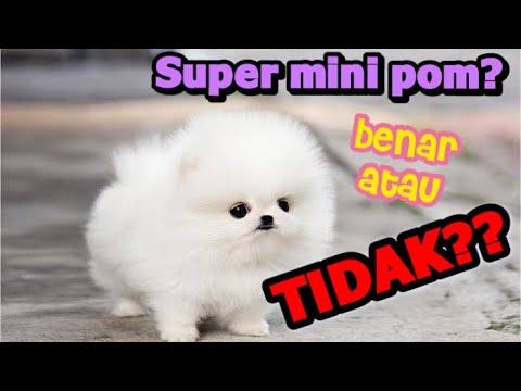 Tentang Supermini Dan Minipom Bagus Mana Funkypom Part 2 Youtube