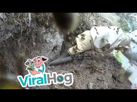 Wasp Nest Excavation in New Zealand || ViralHog