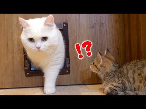 先輩猫の華麗なる通り抜けを見てやり方を学ぶ子猫!