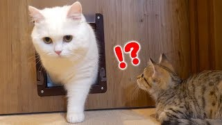 ENG) A kitten who learns how to use a pet door by looking at an old cat!