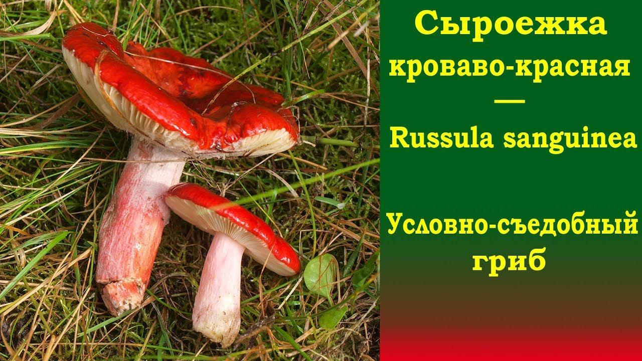 гриб сыроежка видео