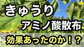 【きゅうり栽培】 アミノ酸散布の効果検証しました【追肥】