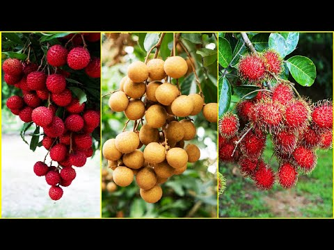 Tropical Fruit Farm Harvest - Lychee, Longan, Rambutan Harvesting - Amazing Agriculture Technology