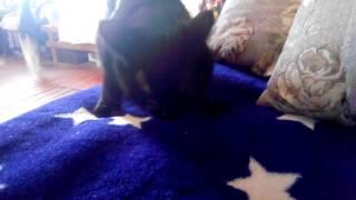Как кот жрёт тыквенные семечки