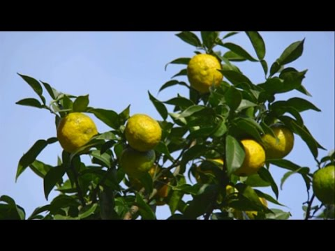 Yuzu The Fruit that Saved a Village