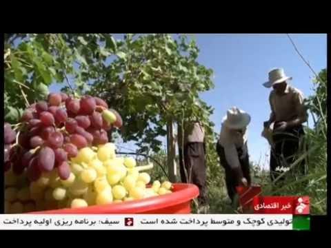 Iran Mahabad county, Organic Grapes picking برداشت انگور ارگانيك شهرستان مهاباد ايران