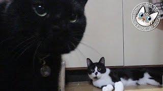 【Jean & Pont 1229】maoiママ撮影「maoiと4匹の猫たちが遊ぶ2」 2018/3/11 ジャン ポン しおん あんず チャコ