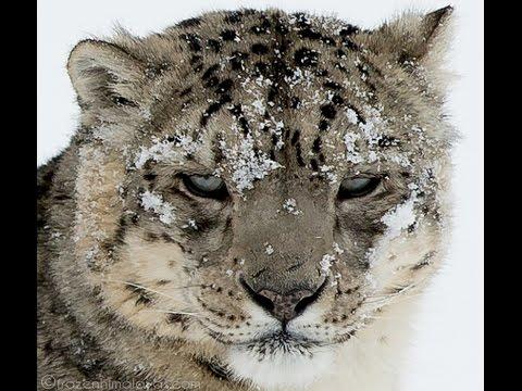 Snow Leopard trek - female and its two cubs - Ladakh - Feb 2017