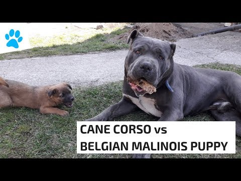 CANE CORSO vs BELGIAN MALINOIS PUPPY - All About Dogs