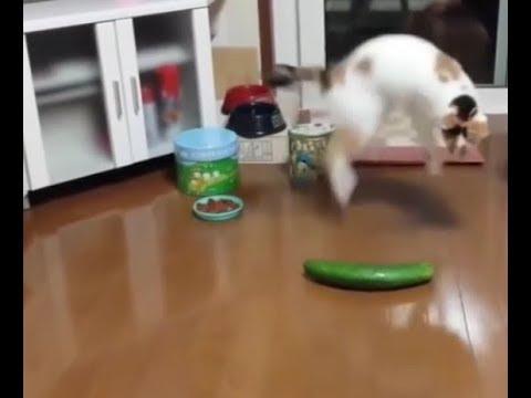 Почему кошки + коты боятся огурцов? от испуга подскок на 2 метра вверх - смех смехом а я серьезно