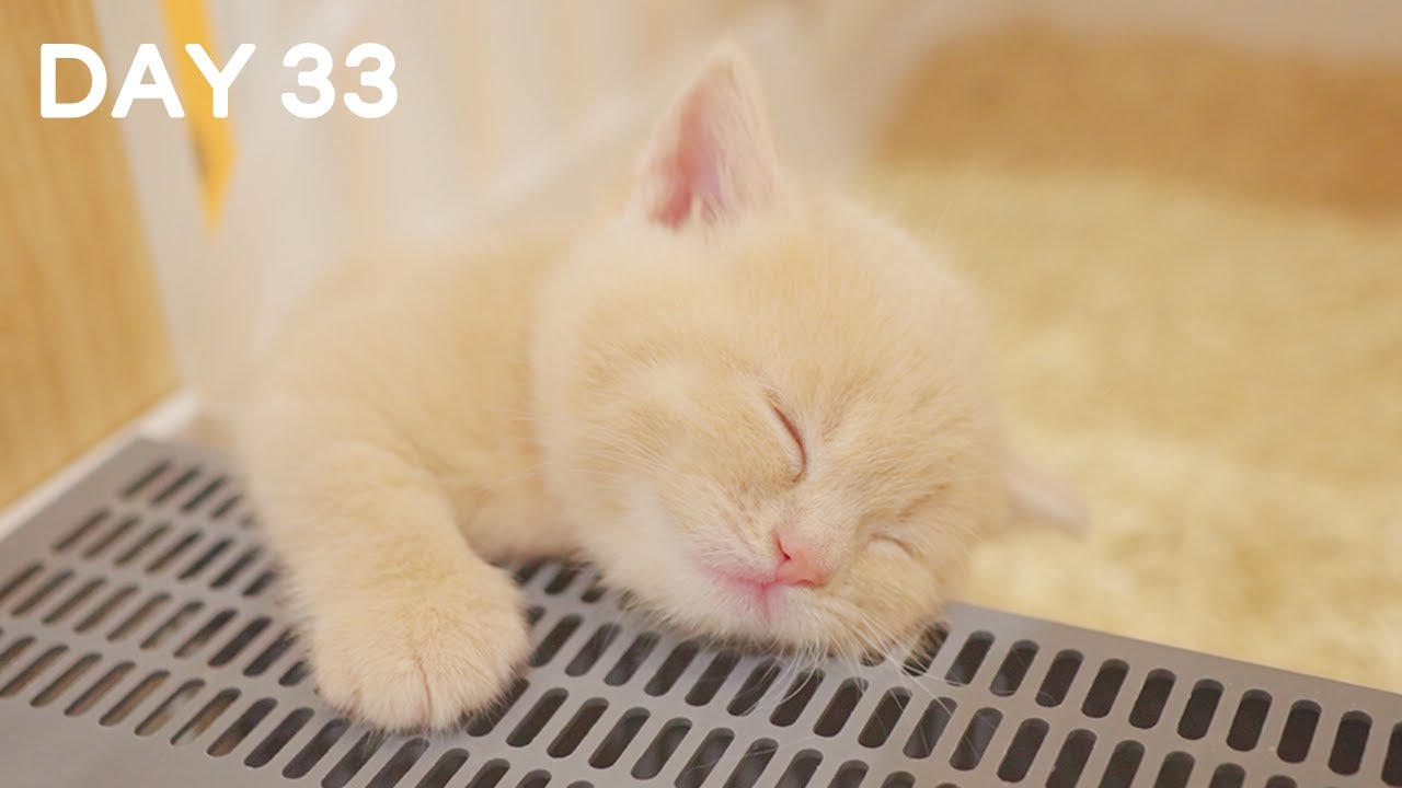 Day 33 - Baby Kittens Lost The Fight Against Sleep | Day 1 to Day 100 Kittens Grow Up Vlog