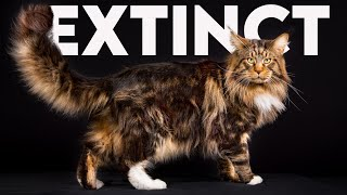 Crazy Things About Maine Coon Cats You Need To Know