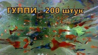 Аквариумная рыбка гуппи. Самые простые аквариумные рыбки.