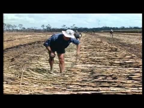 "History of the Australian Sugarcane Industry ""They're all half crazy"""