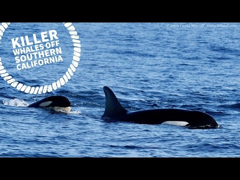 Offshore Killer Whales off Dana Point