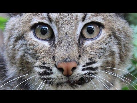 Remembering Rufus the Bobcat...