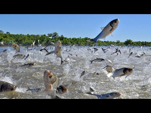 WoW !! Fishermen Fishing Catch A Lot Of Fish On River - Big Catch Hundreds Of Tons Of Fish