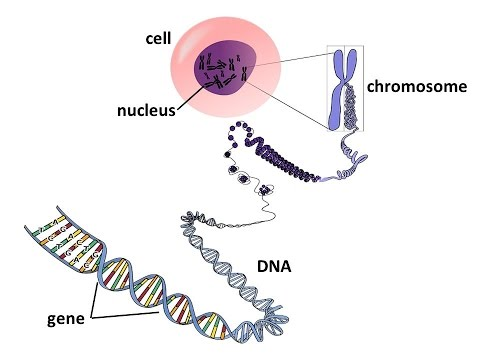 Important for your life Learning what is the Genes, DNA and Chromosomes - YouTube