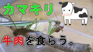 カマキリ、黒毛和牛を食す。Mantis eats Kuroge Wagyu beef.