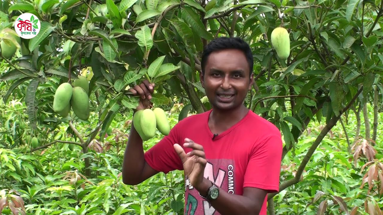 থাই বারোমাসি কাটিমন আম চাষে সাফল্য || Catimon Mango